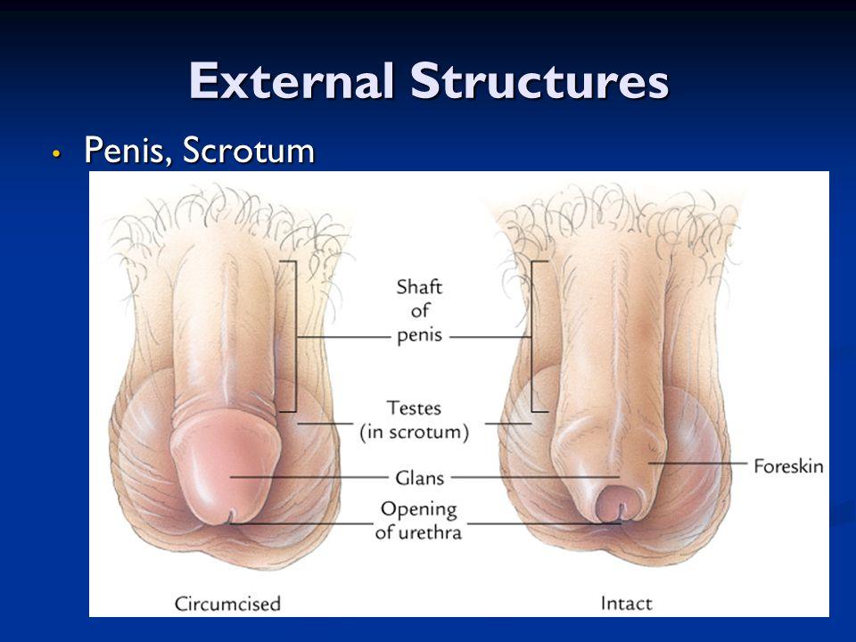 External Structures Penis, Scrotum Penis, Scrotum