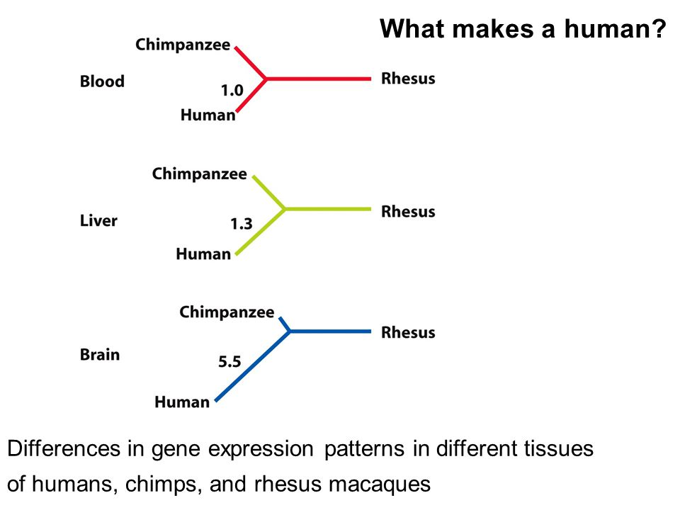 What makes a human? Differences in gene expression patterns in different tissues of humans, chimps, and rhesus macaques