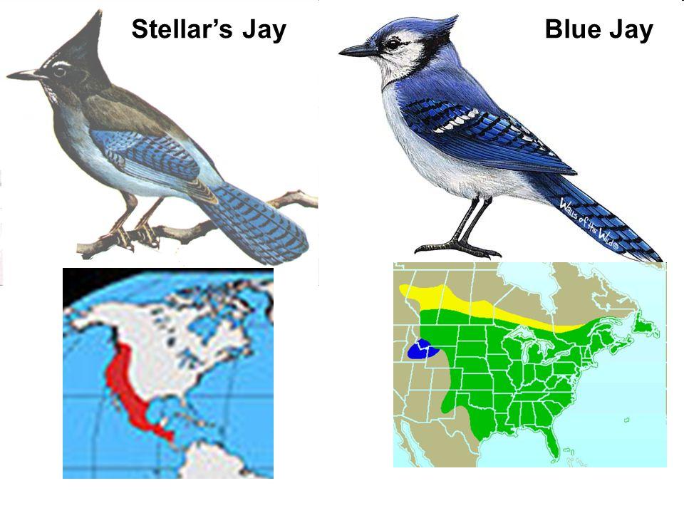 Stellar's Jay Blue Jay