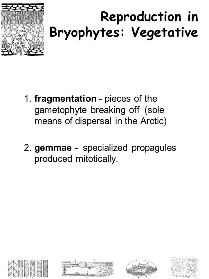 Reproduction in Bryophytes: Vegetative 1.fragmentation - pieces of the gametophyte breaking off (sole means of dispersal in the Arctic) 2.gemmae - spe