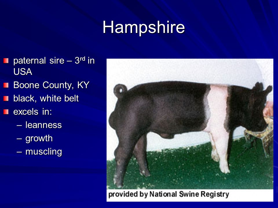 Hampshire paternal sire – 3 rd in USA Boone County, KY black, white belt excels in: –leanness –growth –muscling