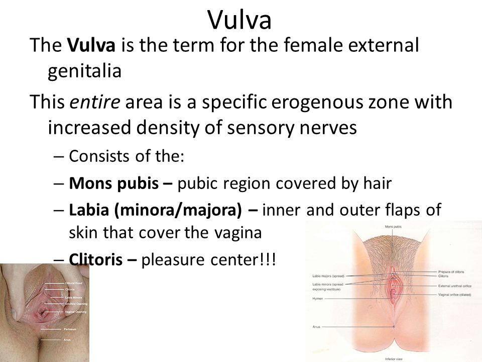Vulva The Vulva is the term for the female external genitalia This entire area is a specific erogenous zone with increased density of sensory nerves – Consists of the: – Mons pubis – pubic region covered by hair – Labia (minora/majora) – inner and outer flaps of skin that cover the vagina – Clitoris – pleasure center!!!