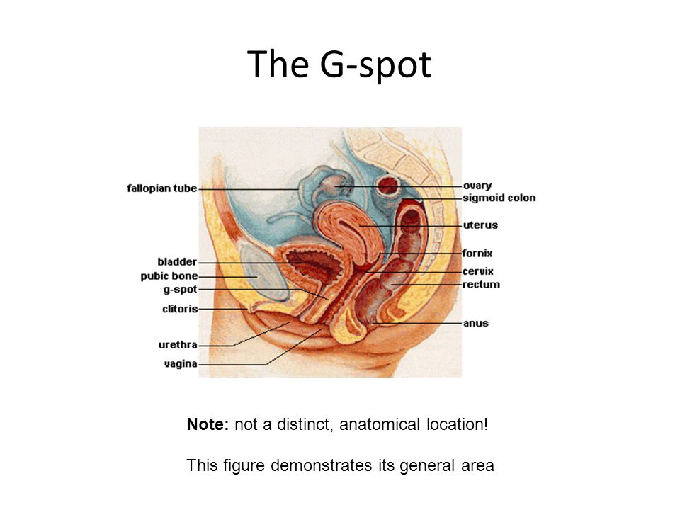 The G-spot Note: not a distinct, anatomical location! This figure demonstrates its general area