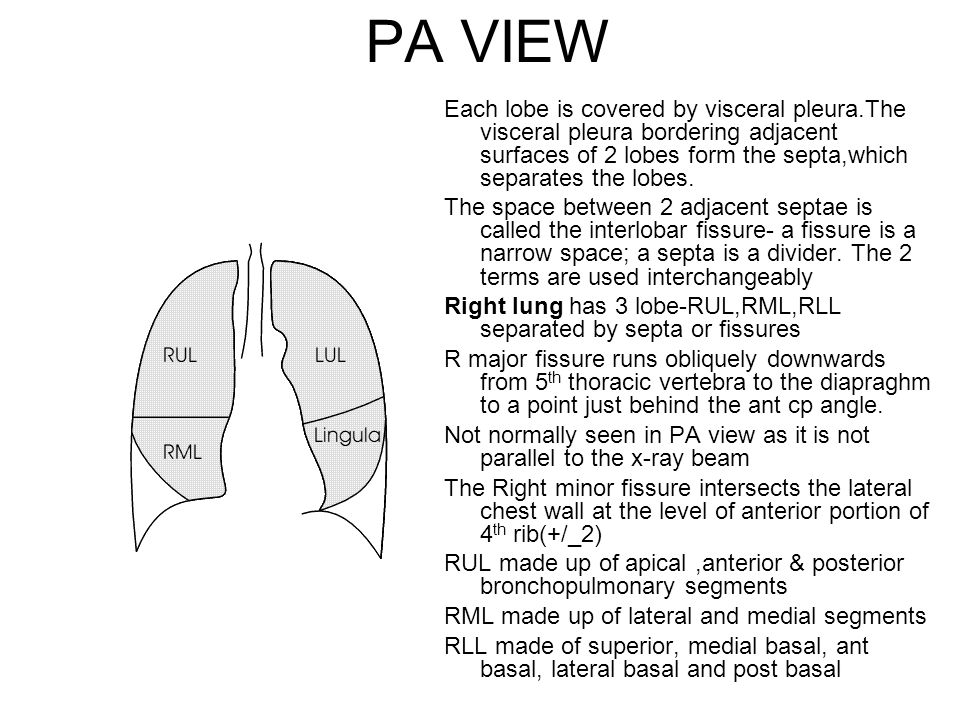 PA VIEW Each lobe is covered by visceral pleura.The visceral pleura bordering adjacent surfaces of 2 lobes form the septa,which separates the lobes.