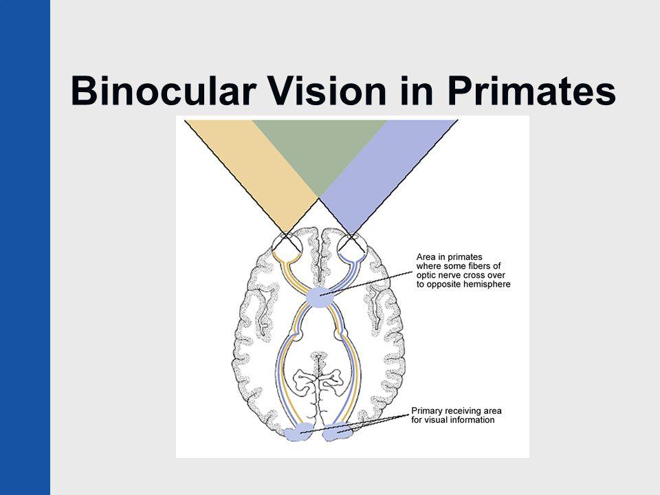 Binocular Vision in Primates