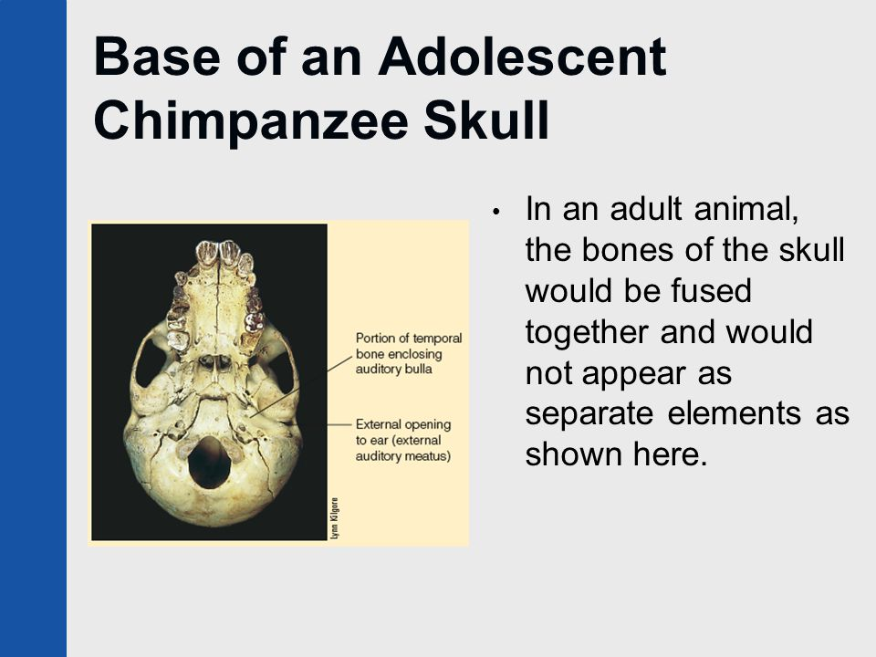 Base of an Adolescent Chimpanzee Skull In an adult animal, the bones of the skull would be fused together and would not appear as separate elements as