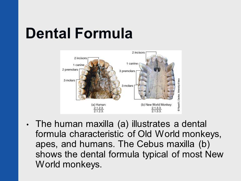 Dental Formula The human maxilla (a) illustrates a dental formula characteristic of Old World monkeys, apes, and humans. The Cebus maxilla (b) shows t