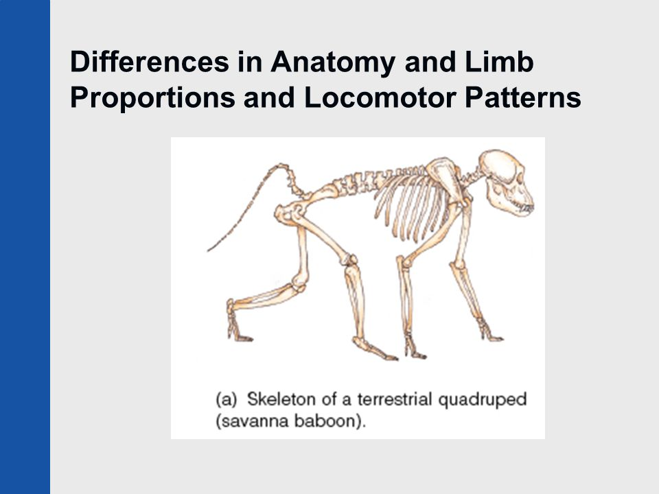 Differences in Anatomy and Limb Proportions and Locomotor Patterns