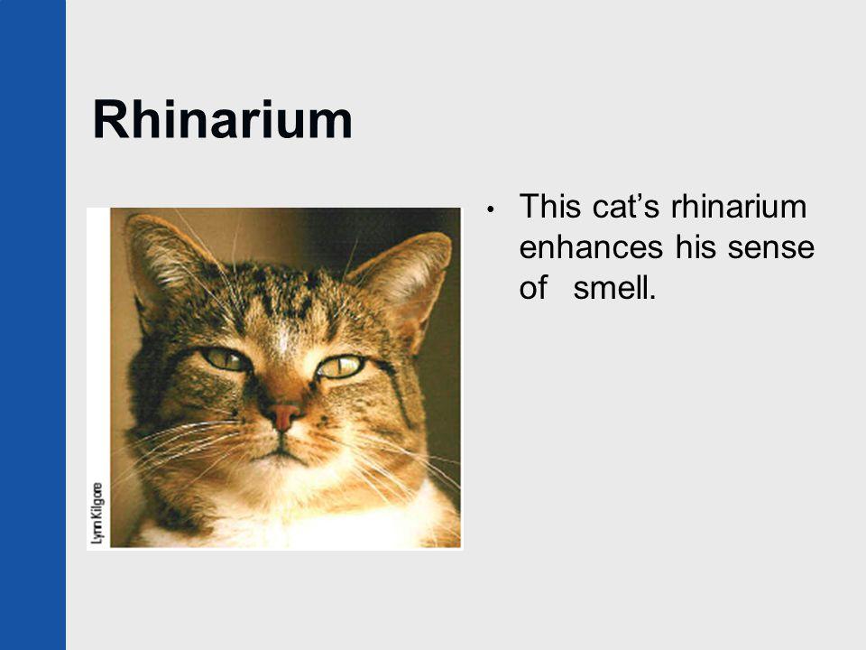 Rhinarium This cat's rhinarium enhances his sense of smell.