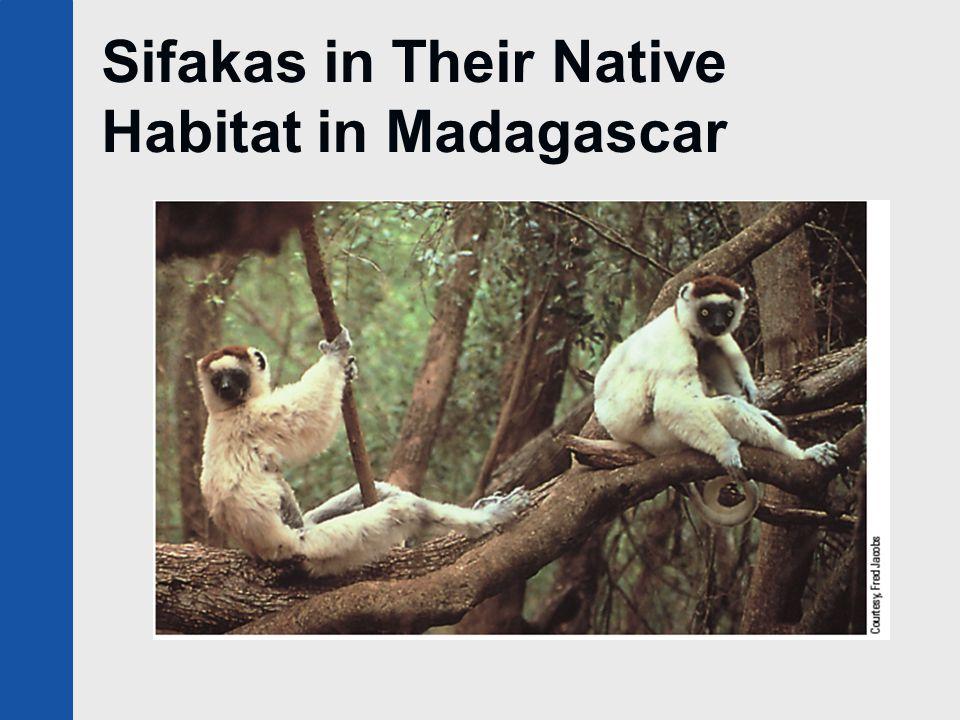 Sifakas in Their Native Habitat in Madagascar