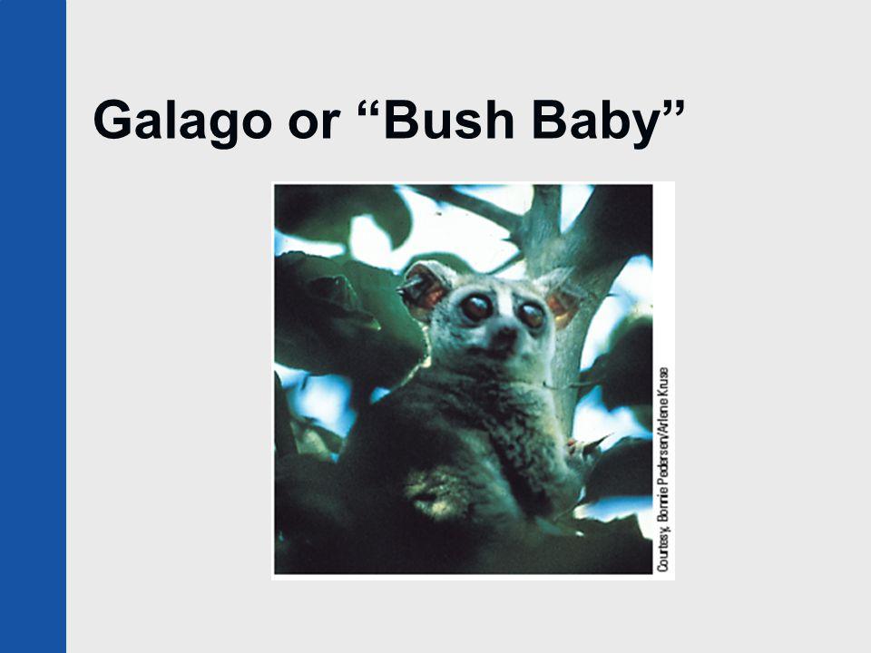 """Galago or """"Bush Baby"""""""