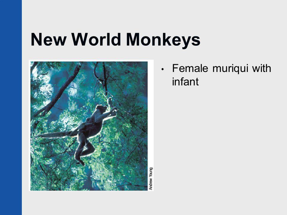 New World Monkeys Female muriqui with infant