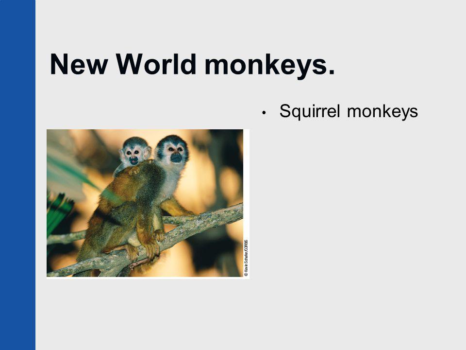 New World monkeys. Squirrel monkeys