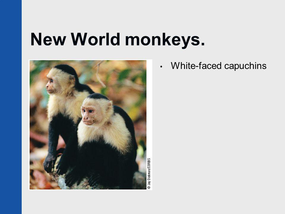 New World monkeys. White-faced capuchins