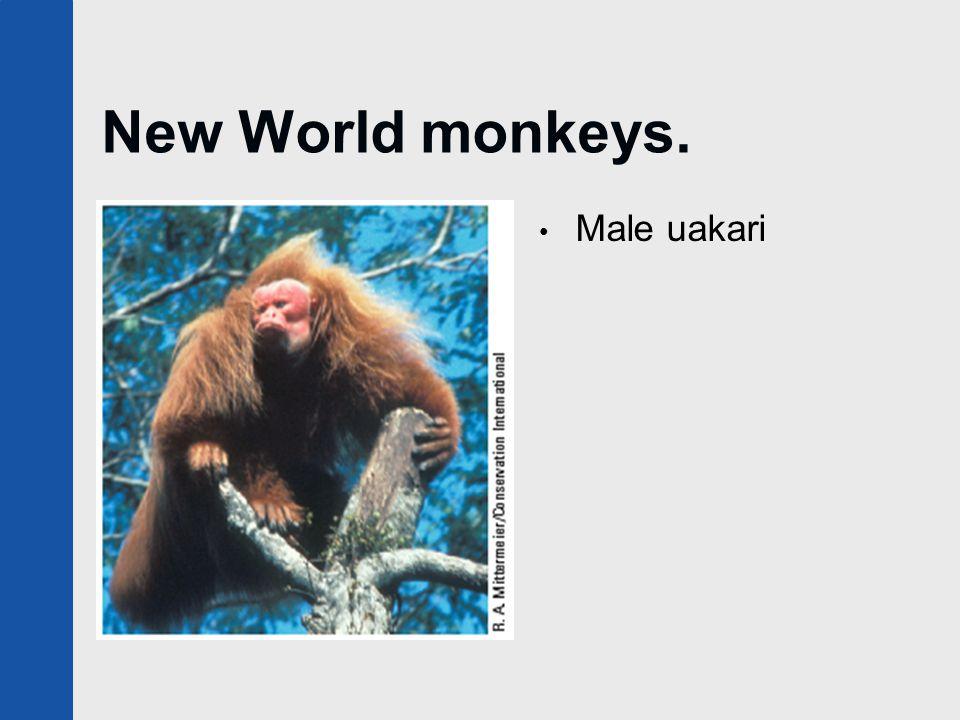 New World monkeys. Male uakari