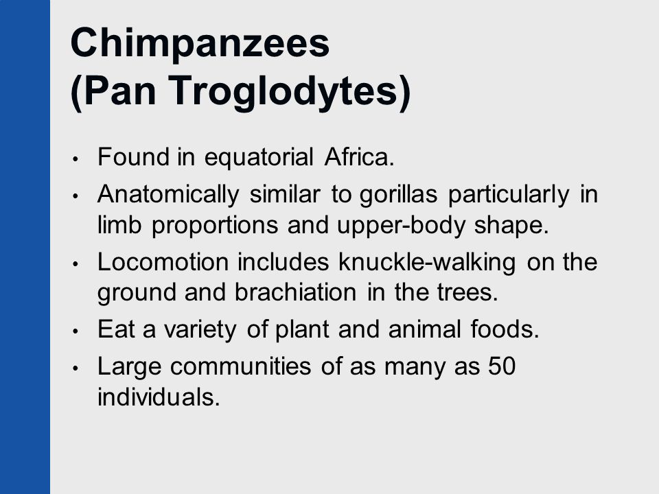 Chimpanzees (Pan Troglodytes) Found in equatorial Africa. Anatomically similar to gorillas particularly in limb proportions and upper-body shape. Loco