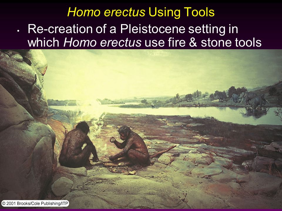 Homo erectus Using Tools Re-creation of a Pleistocene setting in which Homo erectus use fire & stone tools
