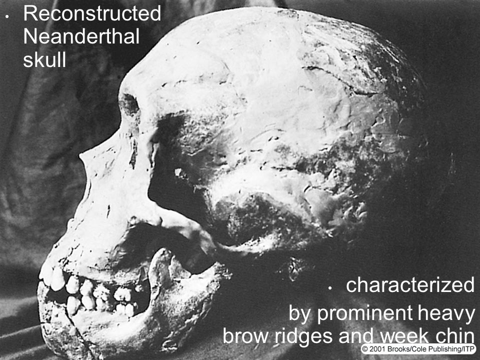 Reconstructed Neanderthal skull characterized by prominent heavy brow ridges and week chin