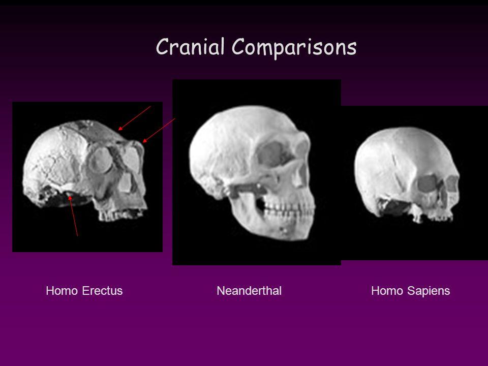 Cranial Comparisons NeanderthalHomo ErectusHomo Sapiens
