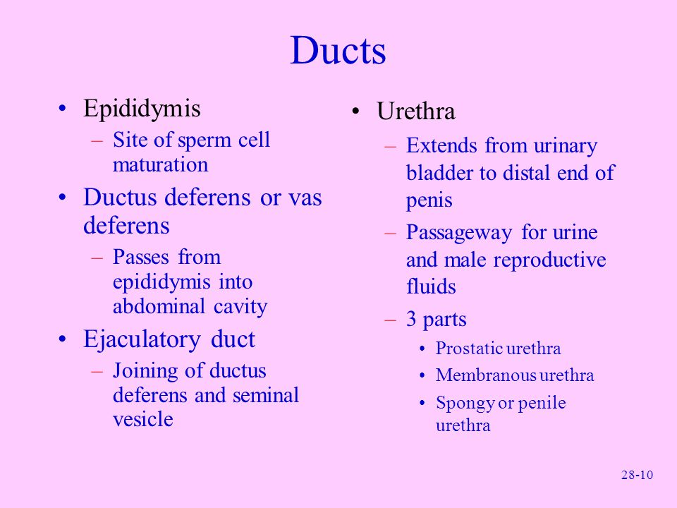 28-10 Ducts Epididymis –Site of sperm cell maturation Ductus deferens or vas deferens –Passes from epididymis into abdominal cavity Ejaculatory duct –