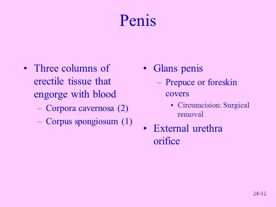 28-12 Penis Three columns of erectile tissue that engorge with blood –Corpora cavernosa (2) –Corpus spongiosum (1) Glans penis –Prepuce or foreskin co