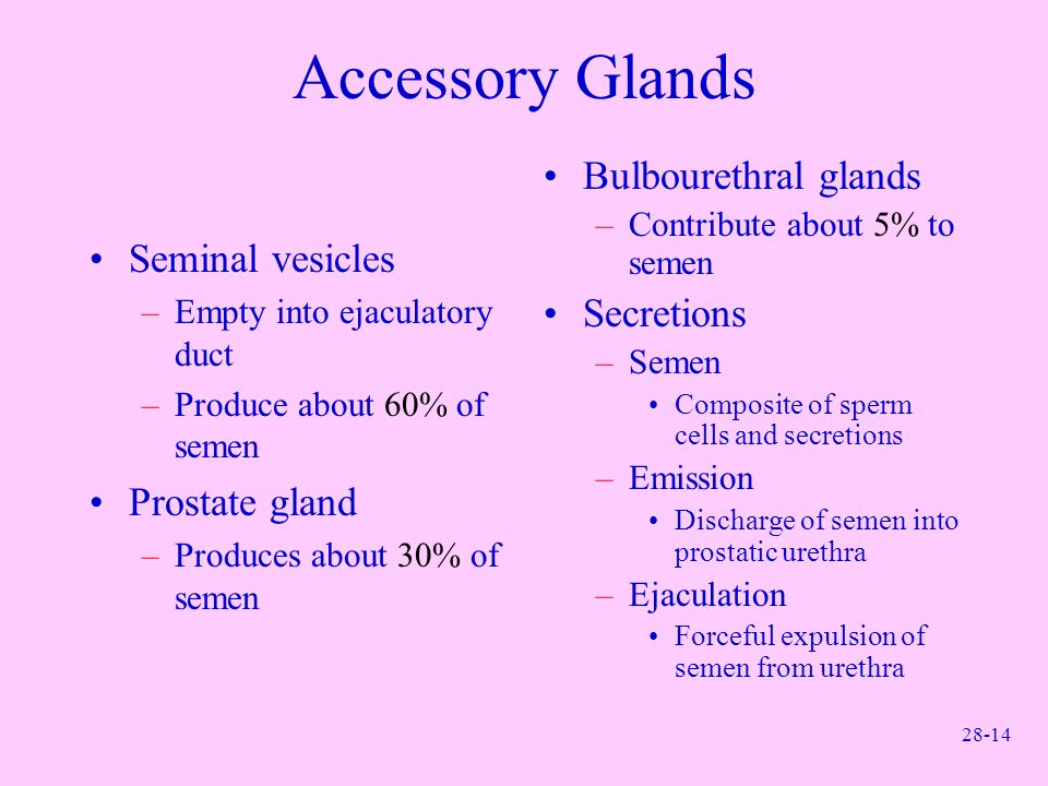 28-14 Accessory Glands Seminal vesicles –Empty into ejaculatory duct –Produce about 60% of semen Prostate gland –Produces about 30% of semen Bulbouret