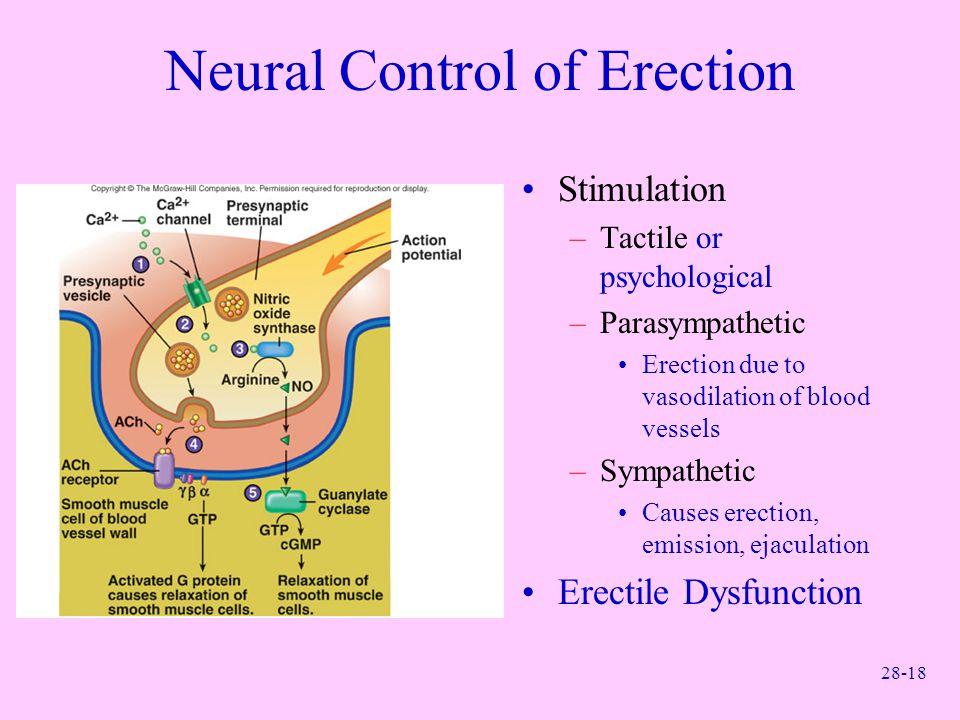 28-18 Neural Control of Erection Stimulation –Tactile or psychological –Parasympathetic Erection due to vasodilation of blood vessels –Sympathetic Cau