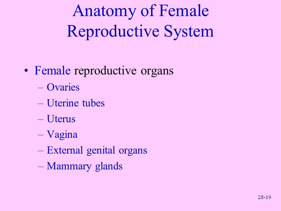 28-19 Anatomy of Female Reproductive System Female reproductive organs –Ovaries –Uterine tubes –Uterus –Vagina –External genital organs –Mammary gland