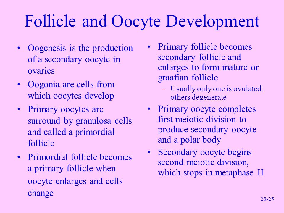 28-25 Follicle and Oocyte Development Oogenesis is the production of a secondary oocyte in ovaries Oogonia are cells from which oocytes develop Primar
