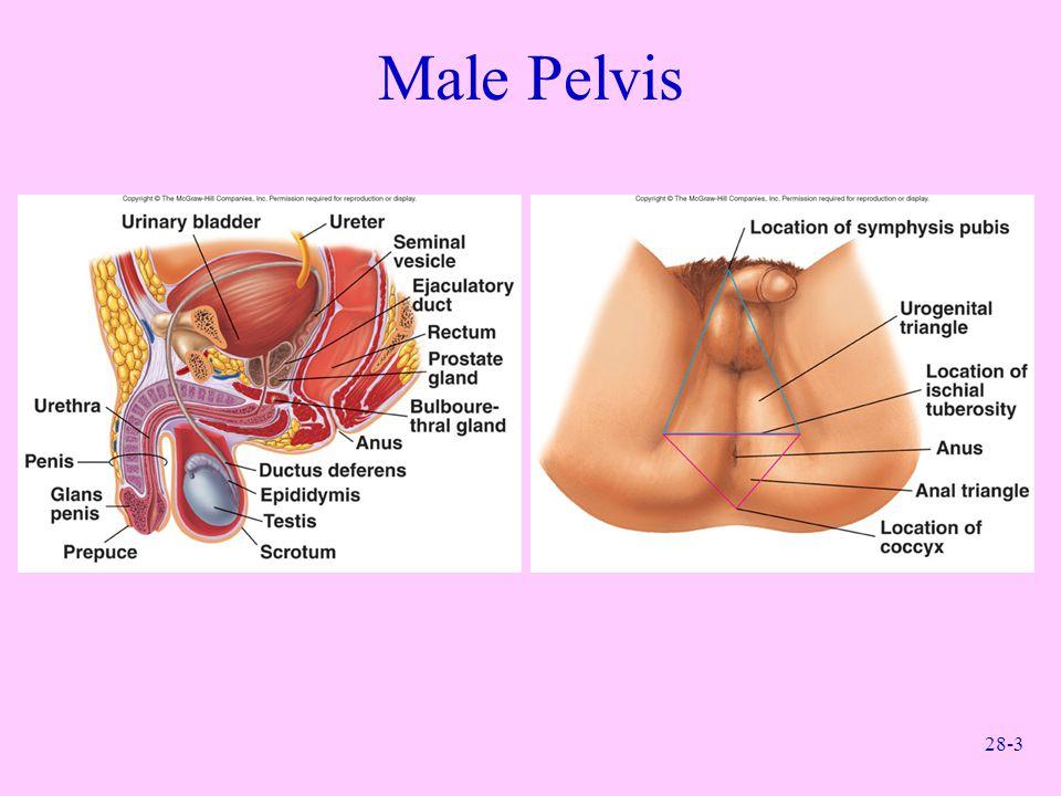 28-3 Male Pelvis