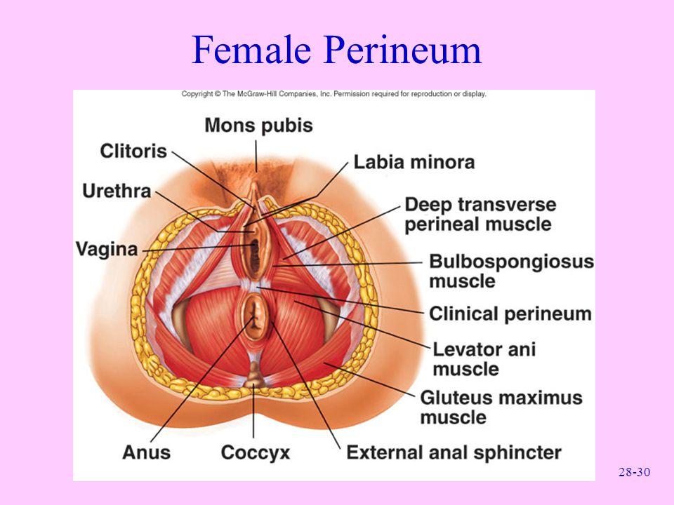 28-30 Female Perineum
