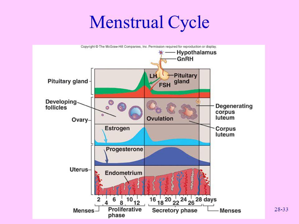 28-33 Menstrual Cycle
