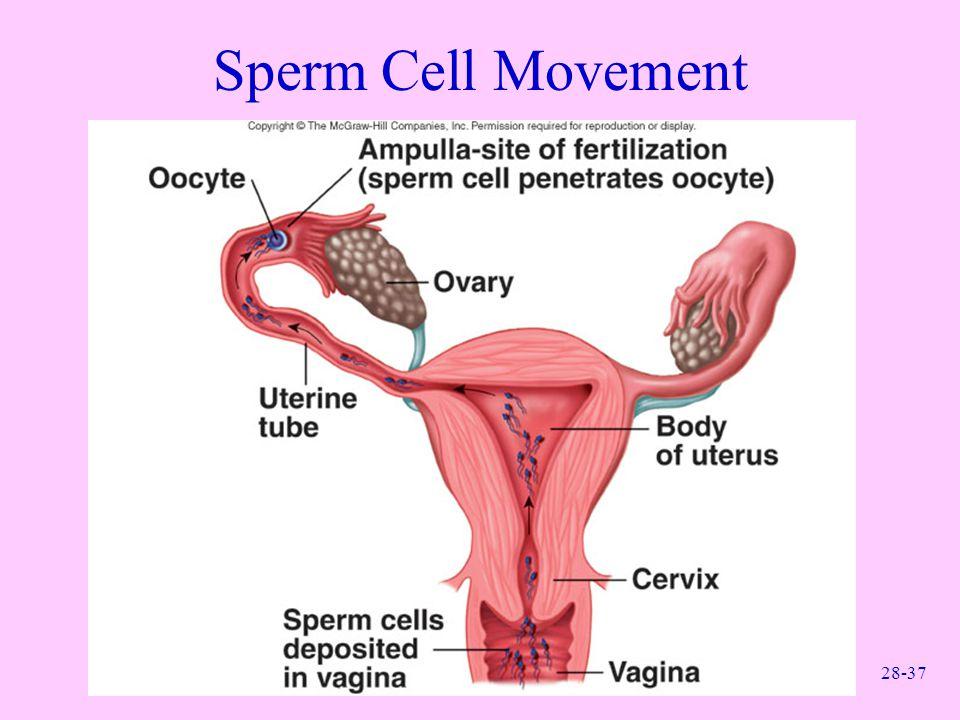 28-37 Sperm Cell Movement