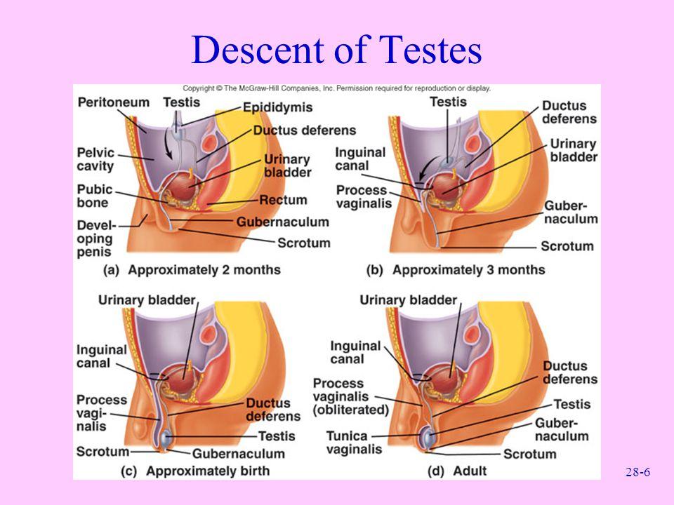 28-6 Descent of Testes