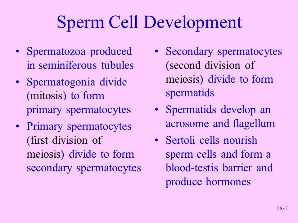 28-7 Sperm Cell Development Spermatozoa produced in seminiferous tubules Spermatogonia divide (mitosis) to form primary spermatocytes Primary spermato