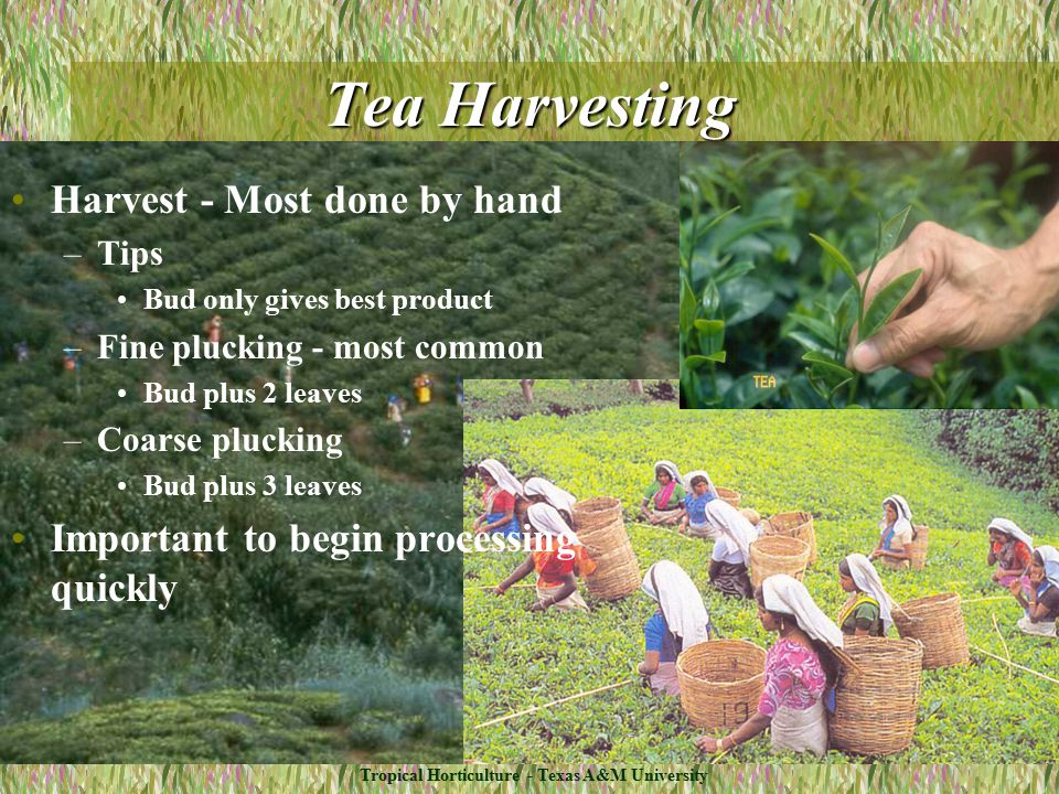 Tropical Horticulture - Texas A&M University Tea Harvesting Harvest - Most done by hand –Tips Bud only gives best product –Fine plucking - most common Bud plus 2 leaves –Coarse plucking Bud plus 3 leaves Important to begin processing quickly