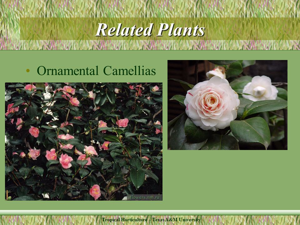 Tropical Horticulture - Texas A&M University Related Plants Ornamental Camellias