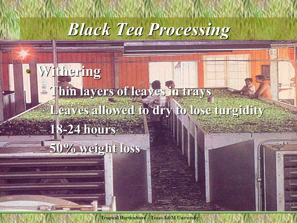 Tropical Horticulture - Texas A&M University Black Tea Processing WitheringWithering –Thin layers of leaves in trays –Leaves allowed to dry to lose turgidity –18-24 hours –50% weight loss