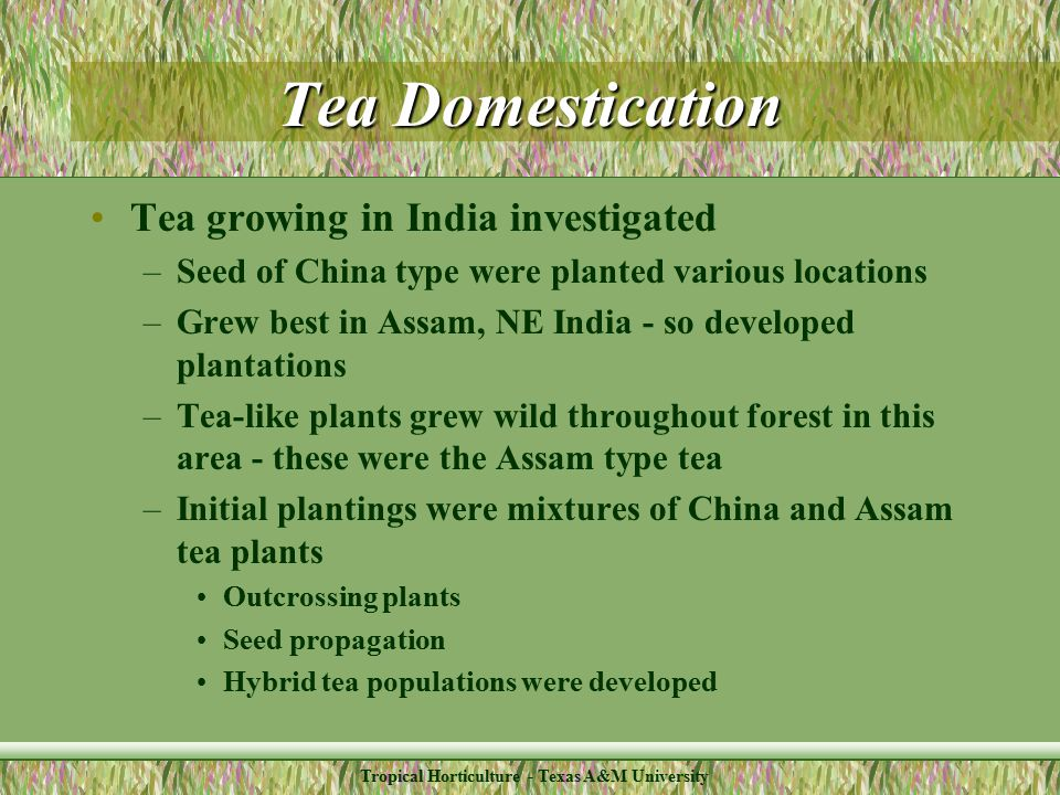 Tropical Horticulture - Texas A&M University Tea Domestication Tea growing in India investigated –Seed of China type were planted various locations –Grew best in Assam, NE India - so developed plantations –Tea-like plants grew wild throughout forest in this area - these were the Assam type tea –Initial plantings were mixtures of China and Assam tea plants Outcrossing plants Seed propagation Hybrid tea populations were developed