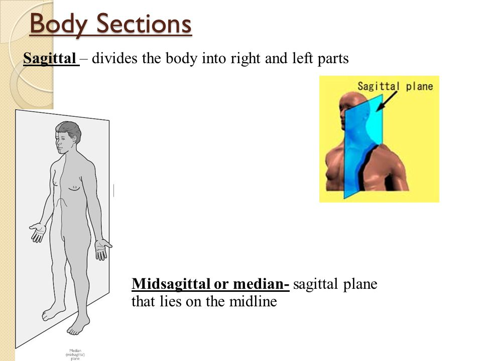 Body Sections Sagittal – divides the body into right and left parts Midsagittal or median- sagittal plane that lies on the midline