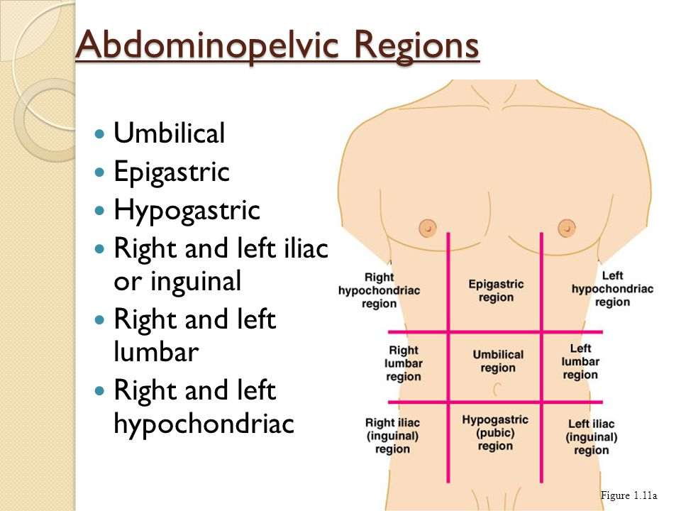 Abdominopelvic Regions Umbilical Epigastric Hypogastric Right and left iliac or inguinal Right and left lumbar Right and left hypochondriac Figure 1.11a