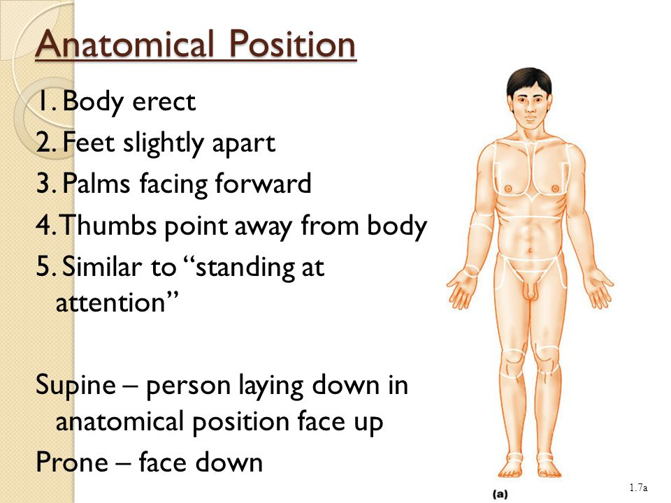Anatomical Position 1.Body erect 2. Feet slightly apart 3.