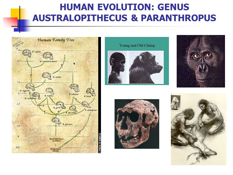 First Adaptive Radiation 6-7 mya in the late Miocene, potential last common ancestors 1.Sahelanthropus tchadensis 6-7 mya in Chad (North Central Africa) 2.