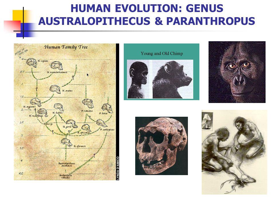 Third Adaptive Radiation 3-4 mya in middle Pliocene, many hominids 1.
