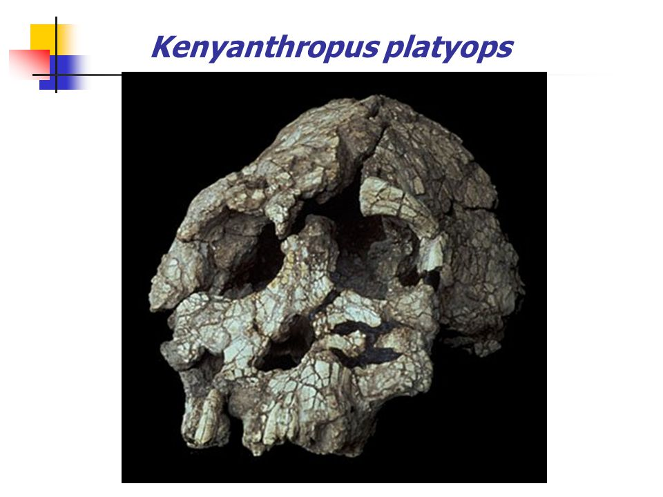 3. Kenyanthropus platyops 3.5-3.2 mya: found in 2001 west of Lake Turkana in Kenya Ape-like features: small ear canal, small brain case Human-like fea