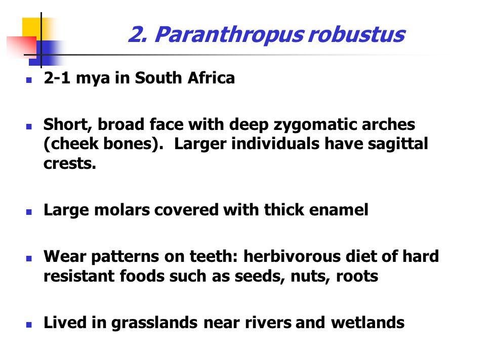 Paranthropus boisei (OH 5)
