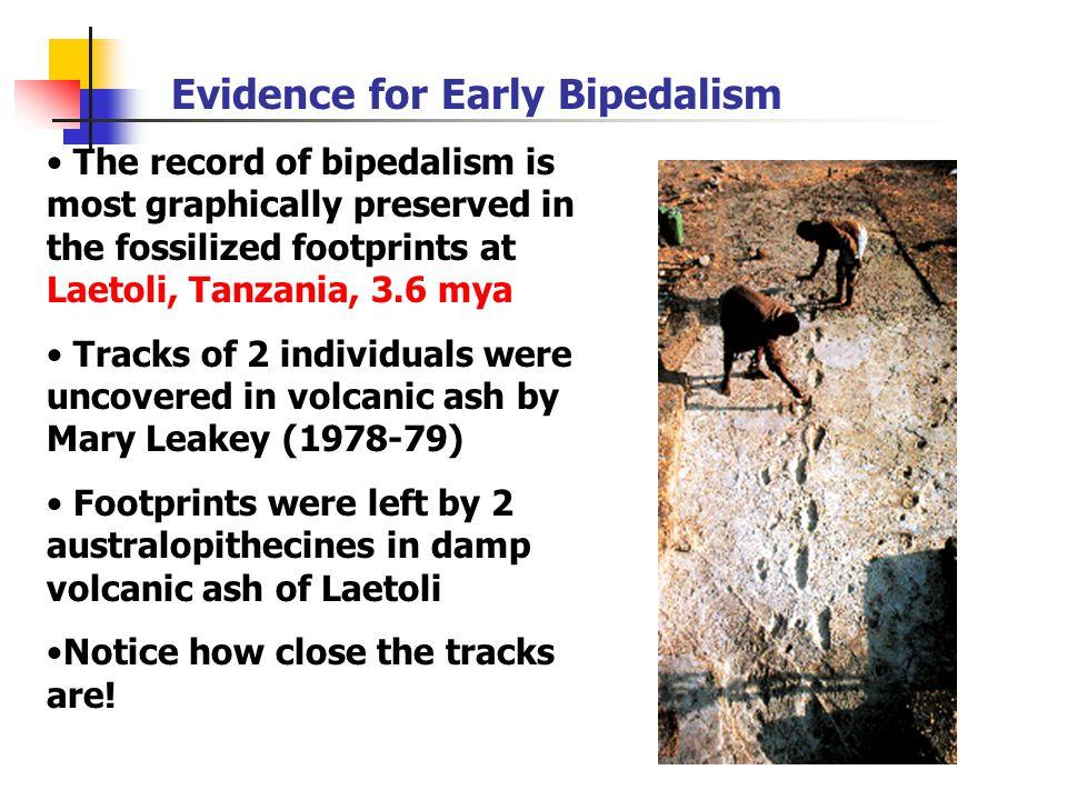 Australopithecus africanusAustralopithecus africanus Taung Child Most complete A.