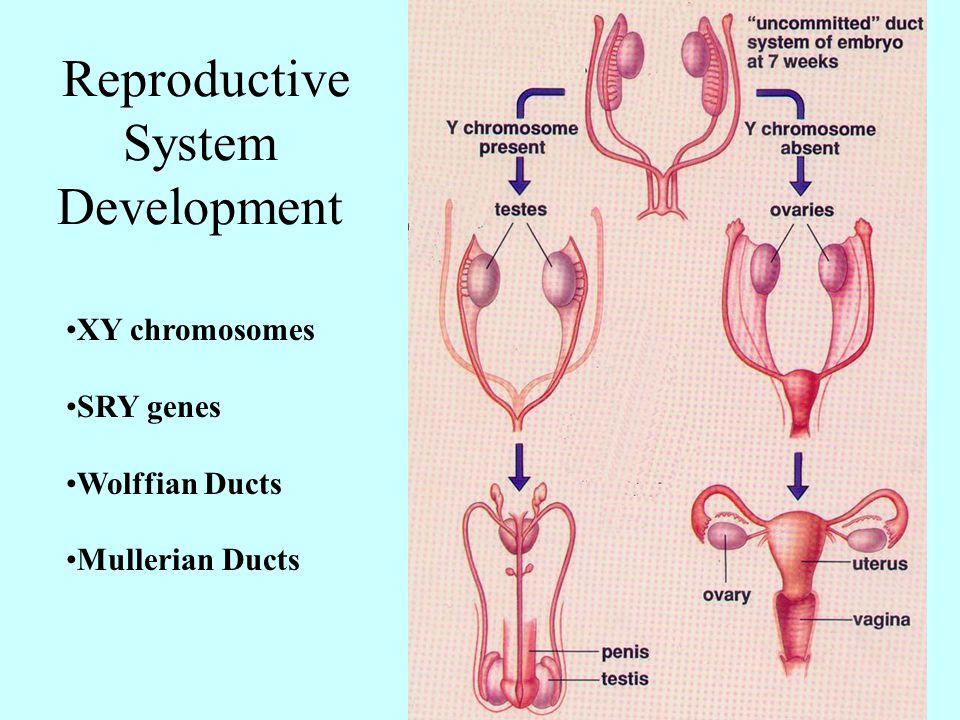 Reproductive System Development XY chromosomes SRY genes Wolffian Ducts Mullerian Ducts