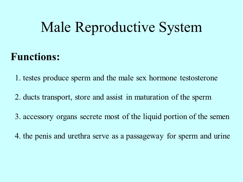 Male Reproductive System Functions: 1. testes produce sperm and the male sex hormone testosterone 2. ducts transport, store and assist in maturation o