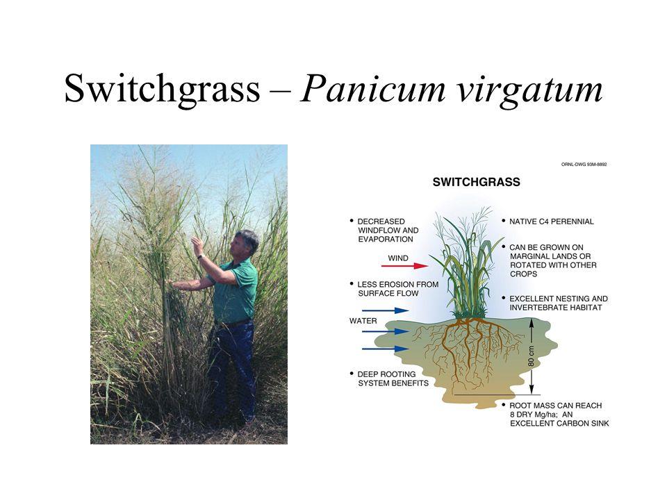 Switchgrass – Panicum virgatum